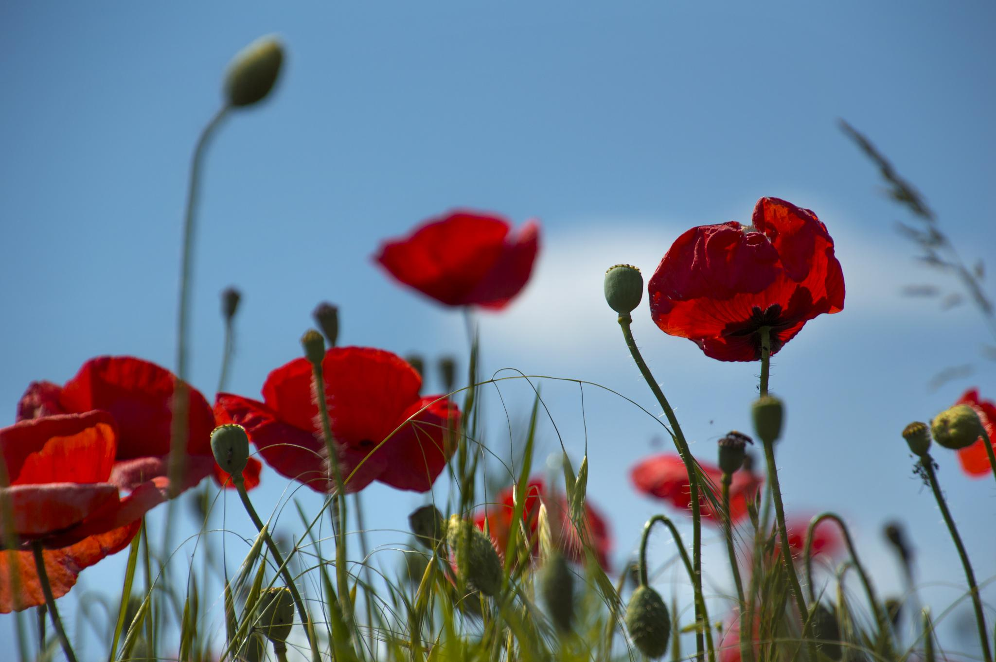 poppy by AdrianBotescu