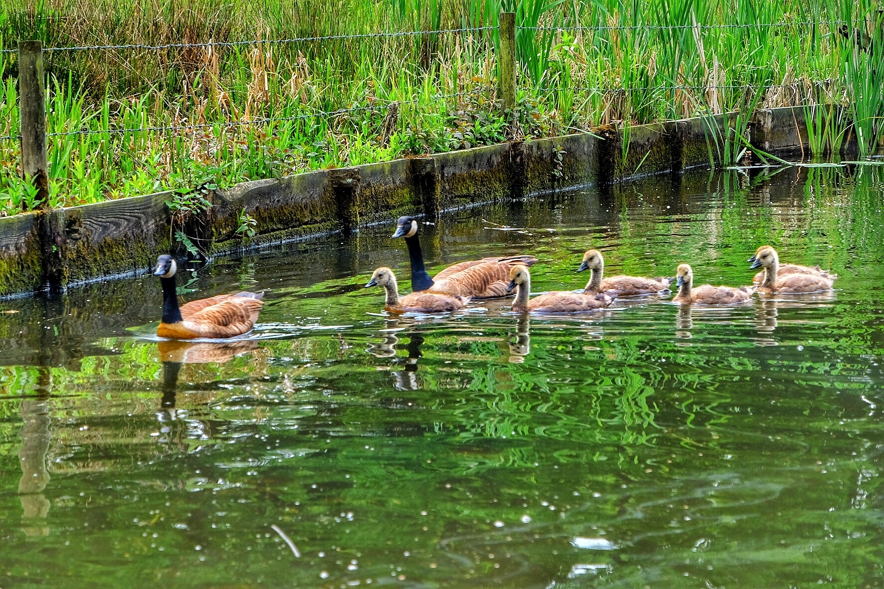Lancaster Canal New Family...080601 by Michael jjg