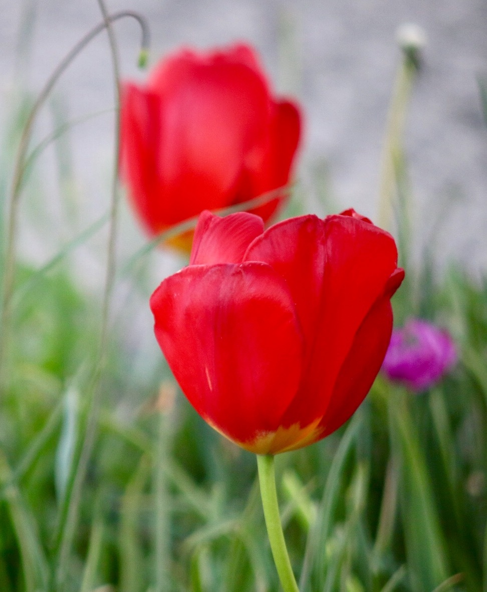 Red Tulip... by Michael jjg