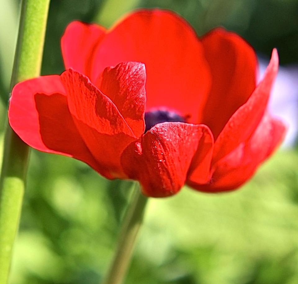 Red Poppy... by Michael jjg