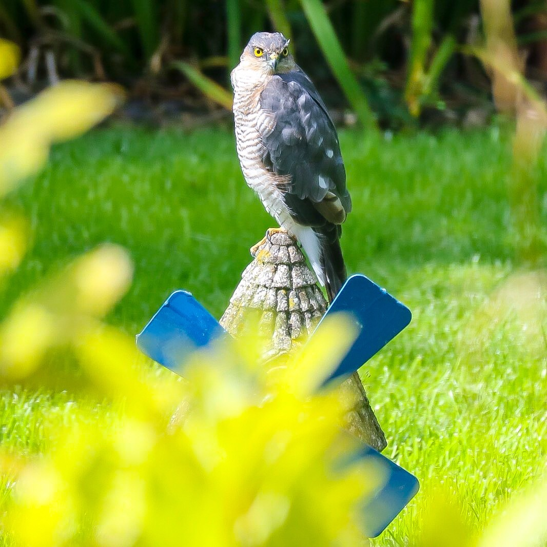 Sparrow Hawk...09081455 by Michael jjg