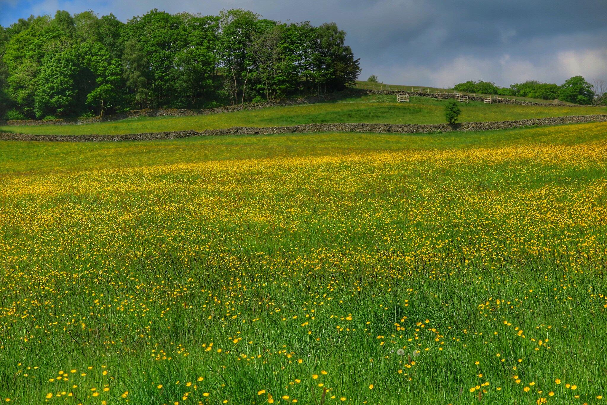 Field of Buttercups ii... by Michael jjg