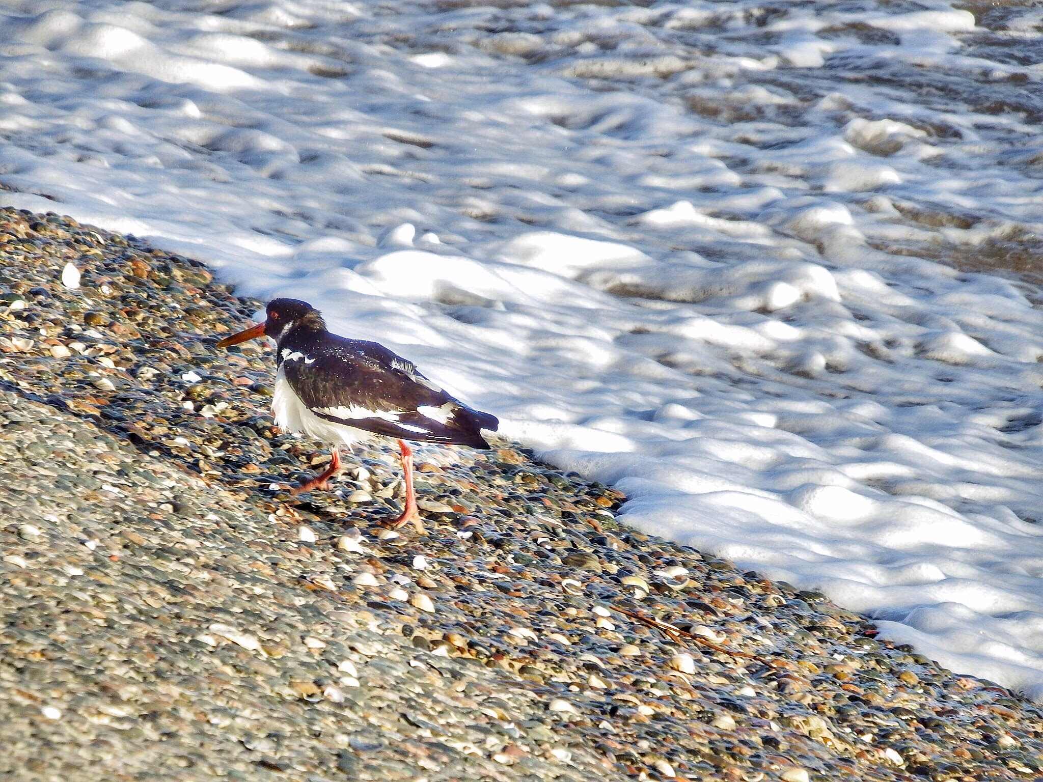 Bad feather day for this Oystercatcher...080601 by Michael jjg