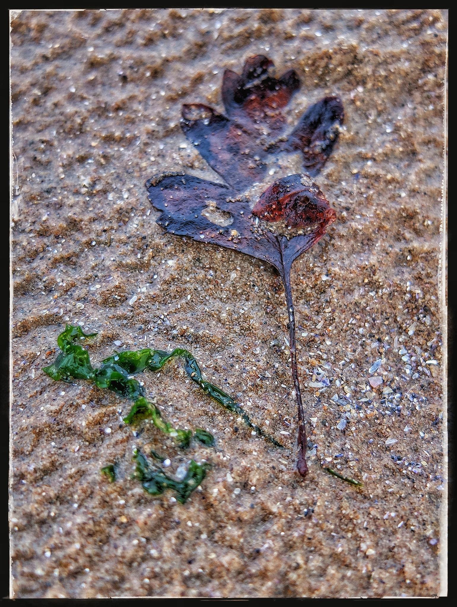 Leaf & Seaweed in the Sand ii... by Michael jjg