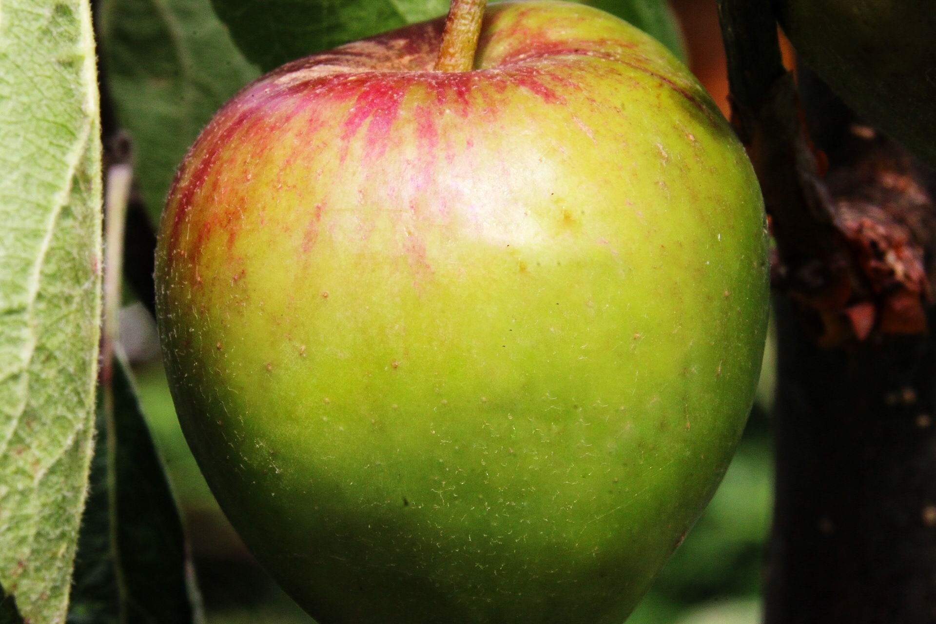 Apple on the Tree...10071635 by Michael jjg
