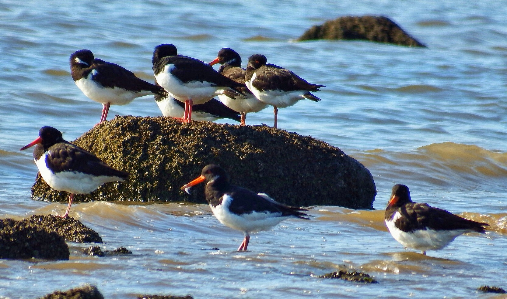 Oystercatchers...090603---Taken with zoom lens. by Michael jjg