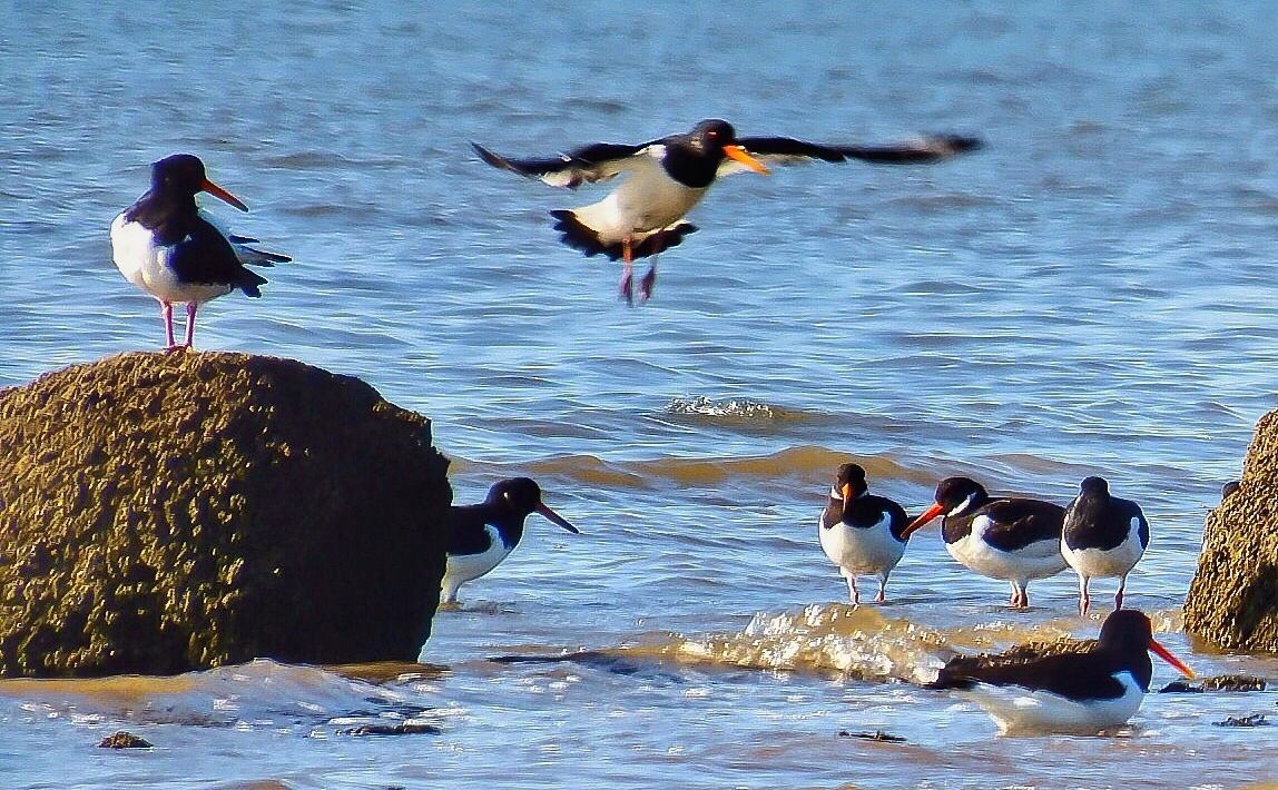 Oystercatchers...090601---Taken with zoom lens. by Michael jjg