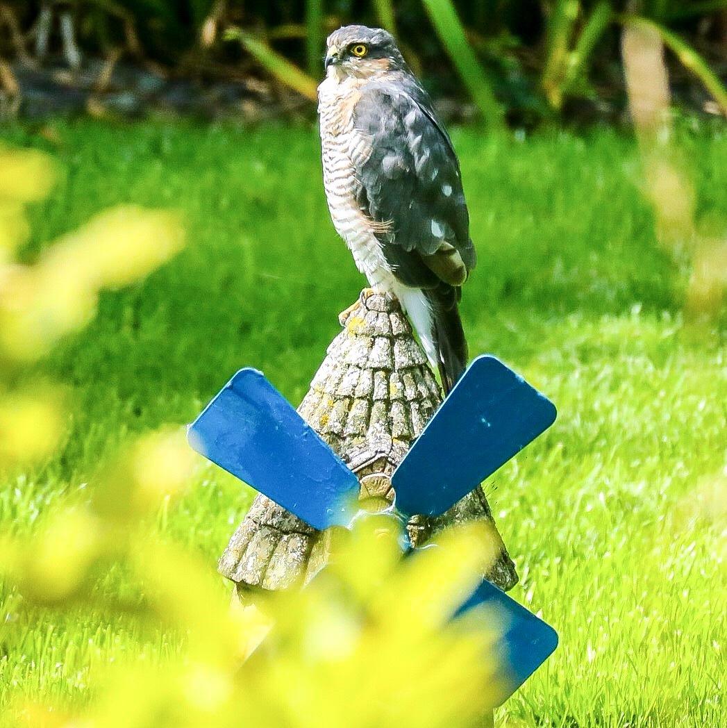Sparrow Hawk... by Michael jjg