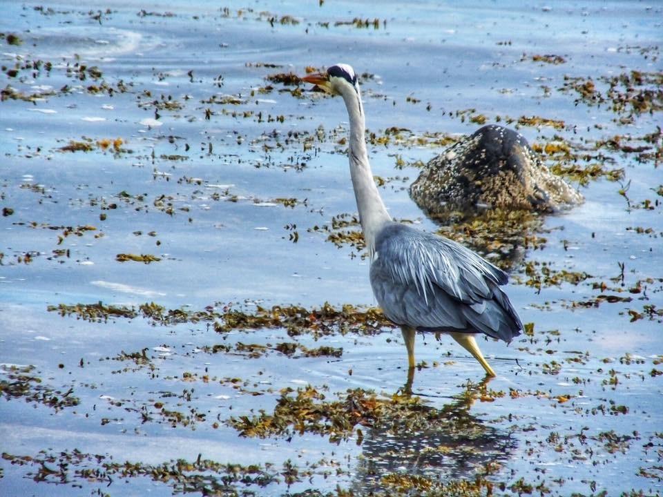 Heron...18080808 by Michael jjg