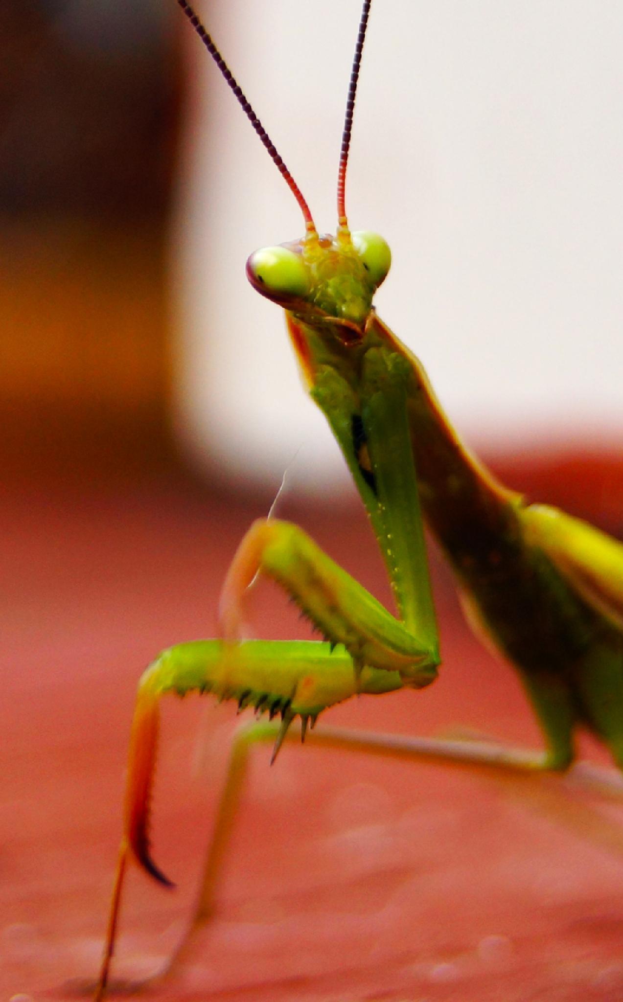 Mantis by douglas.hamilton.984