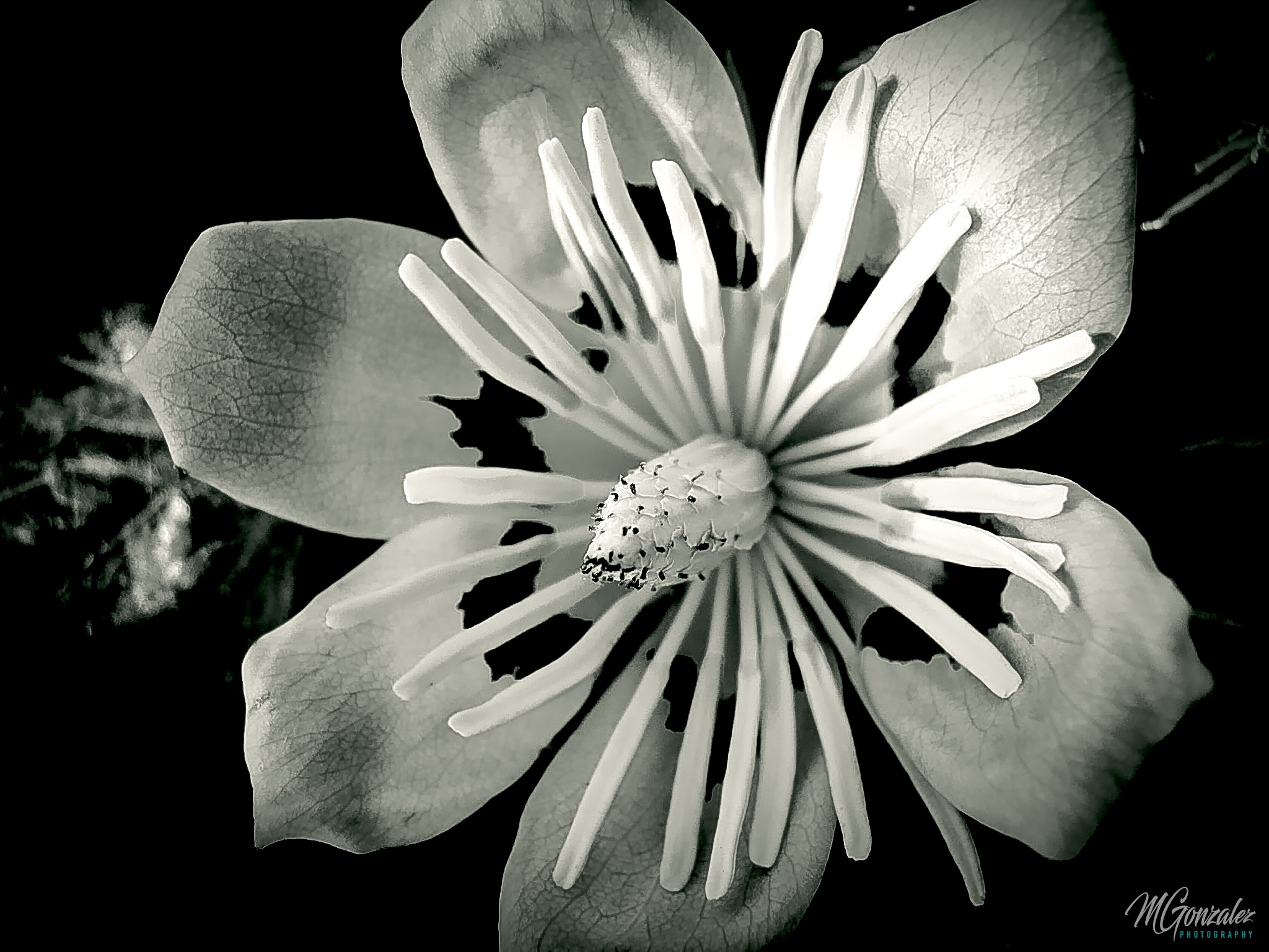 Flower B&W... by Martin G. Olivera