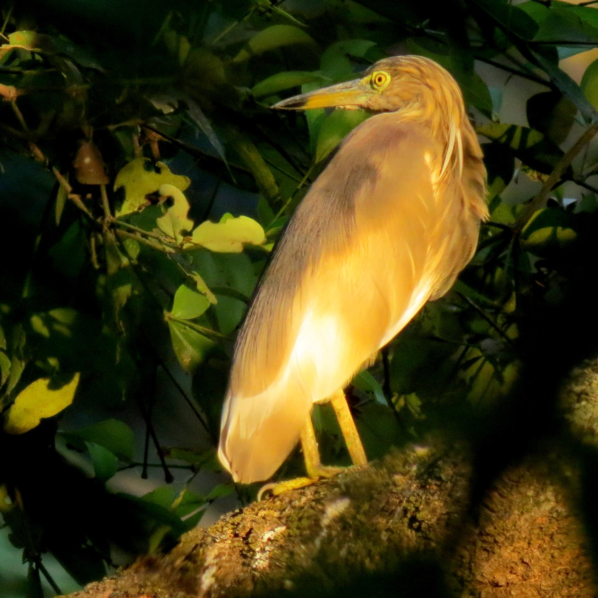 Indian Pond Heron.... by shashipuru