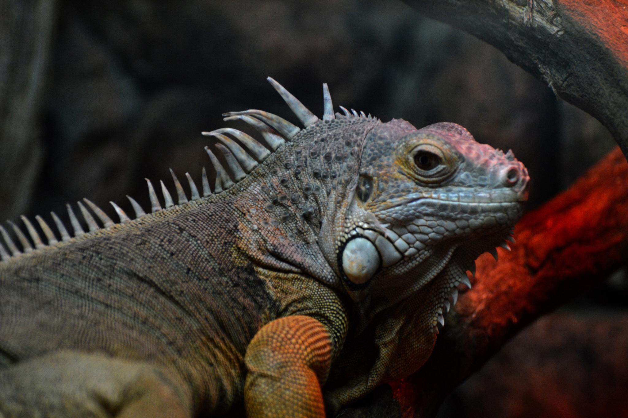 iguana by Hermine Makaryan