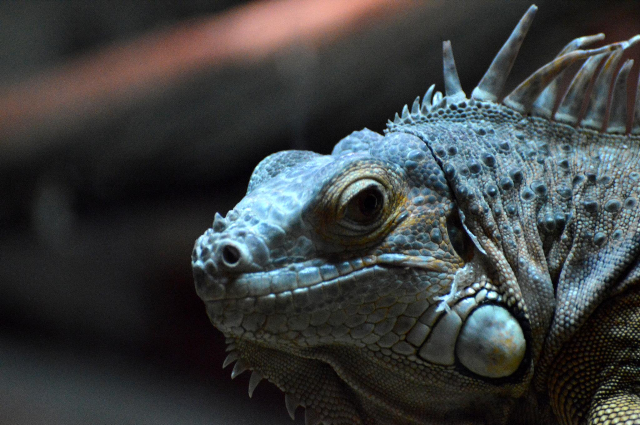 iguana #2 by Hermine Makaryan