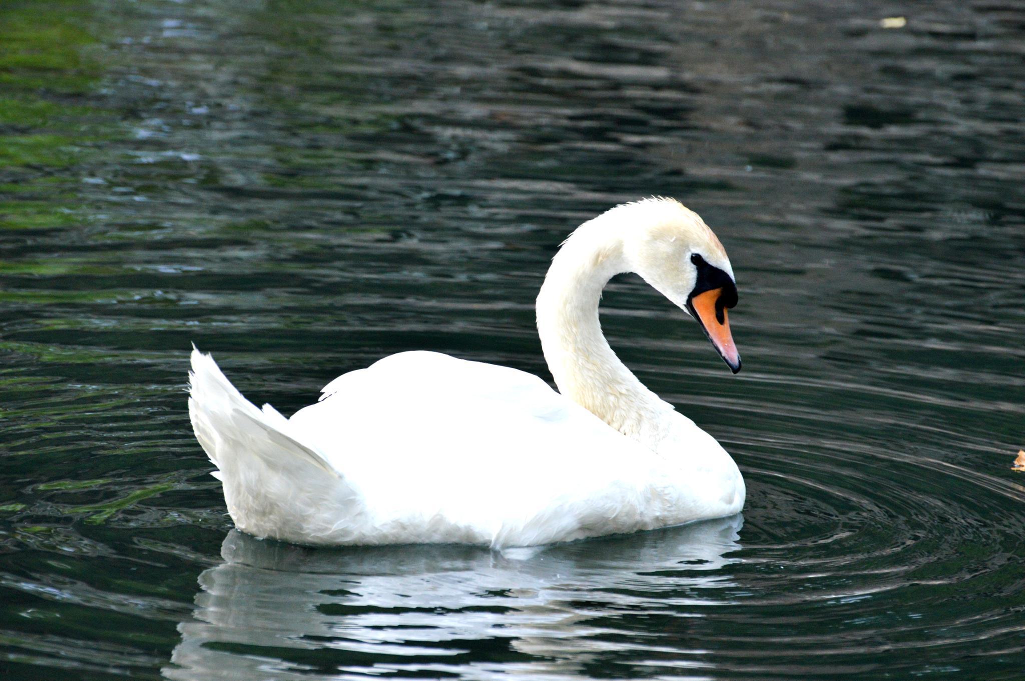 swan by Hermine Makaryan