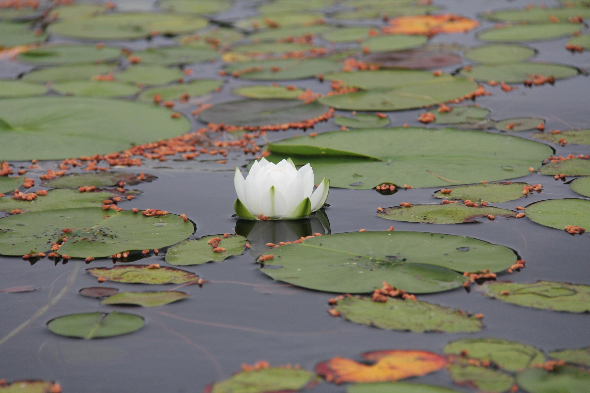 waterlilly by pamela.vaughn.31