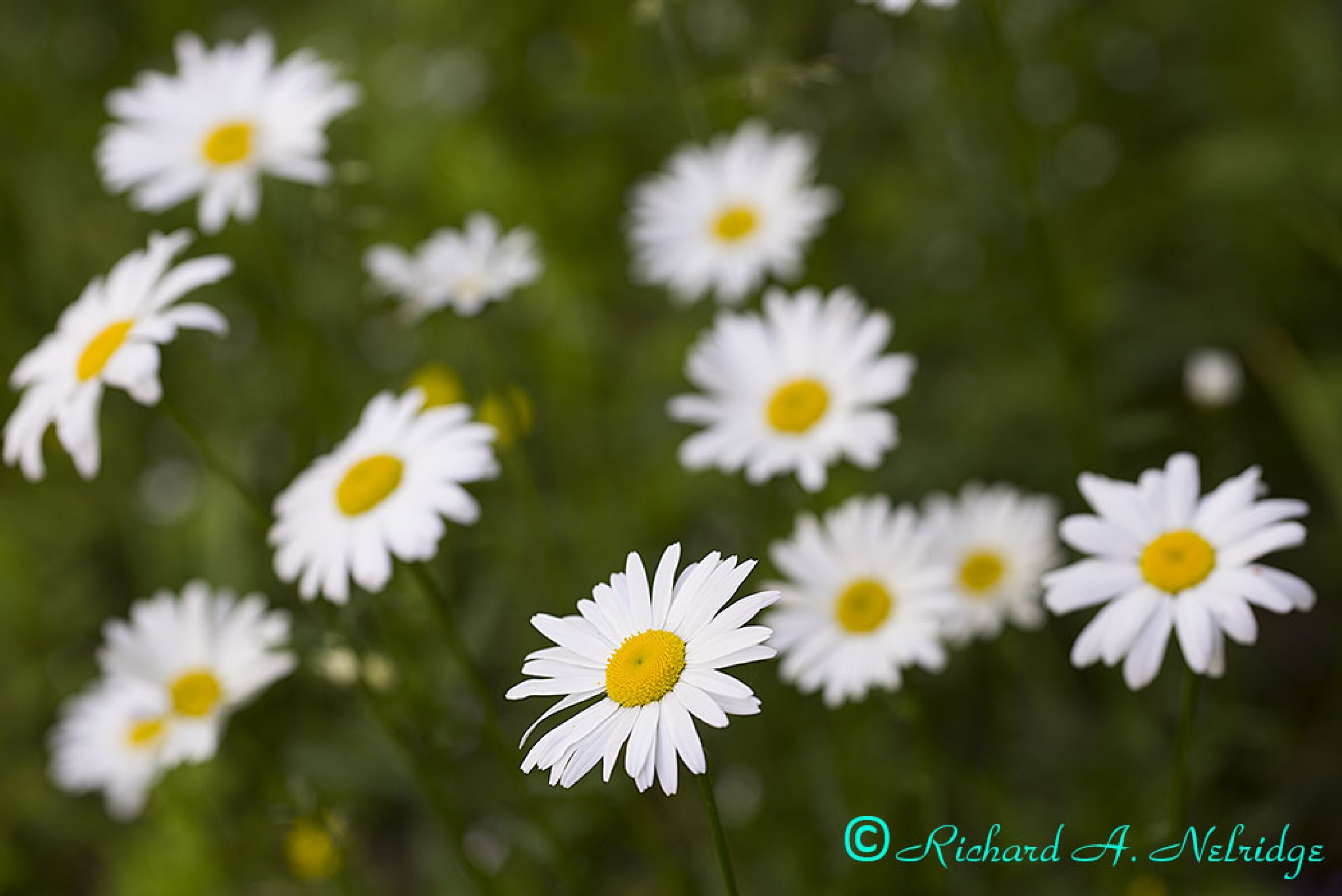 Daisies, Acadia National Park by Richard Nelridge