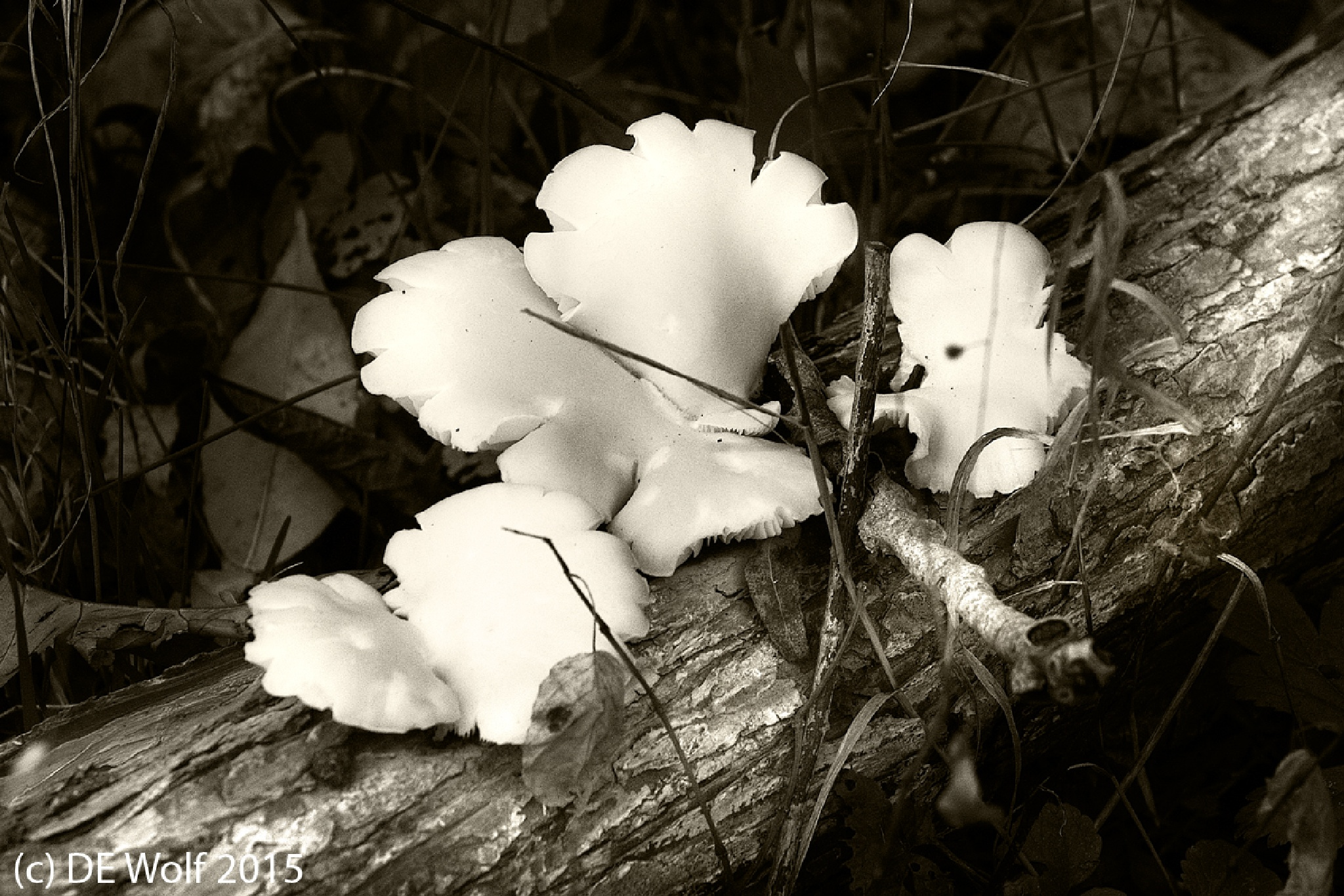 Oyster mushrooms by David E. Wolf