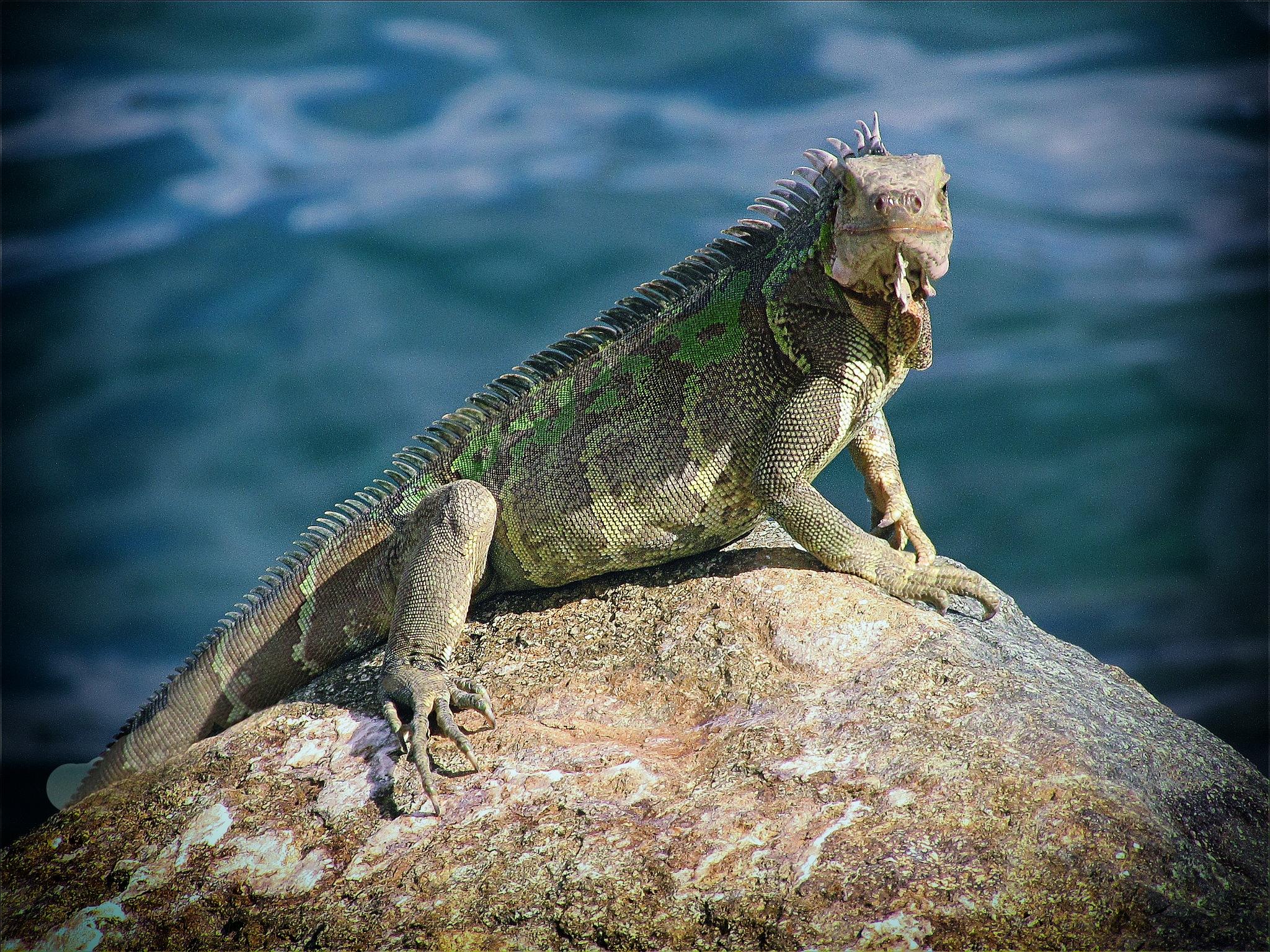 Iguana by Ada Tsodikov Photography