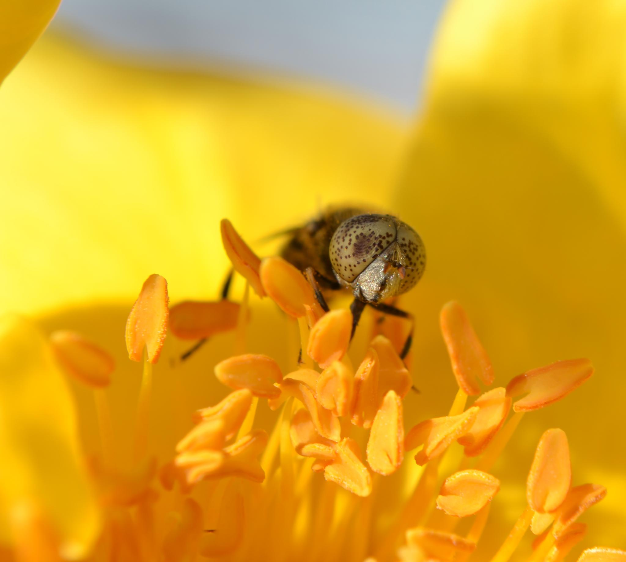 bee eyes by isofrone