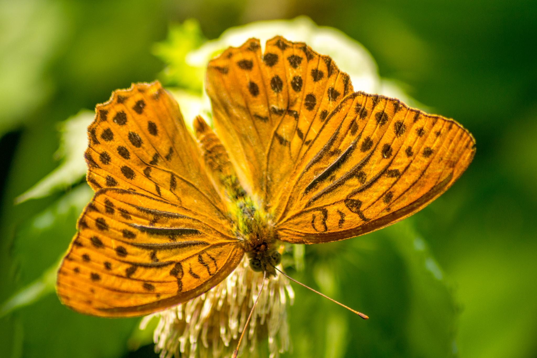 butterfly 9 by isofrone