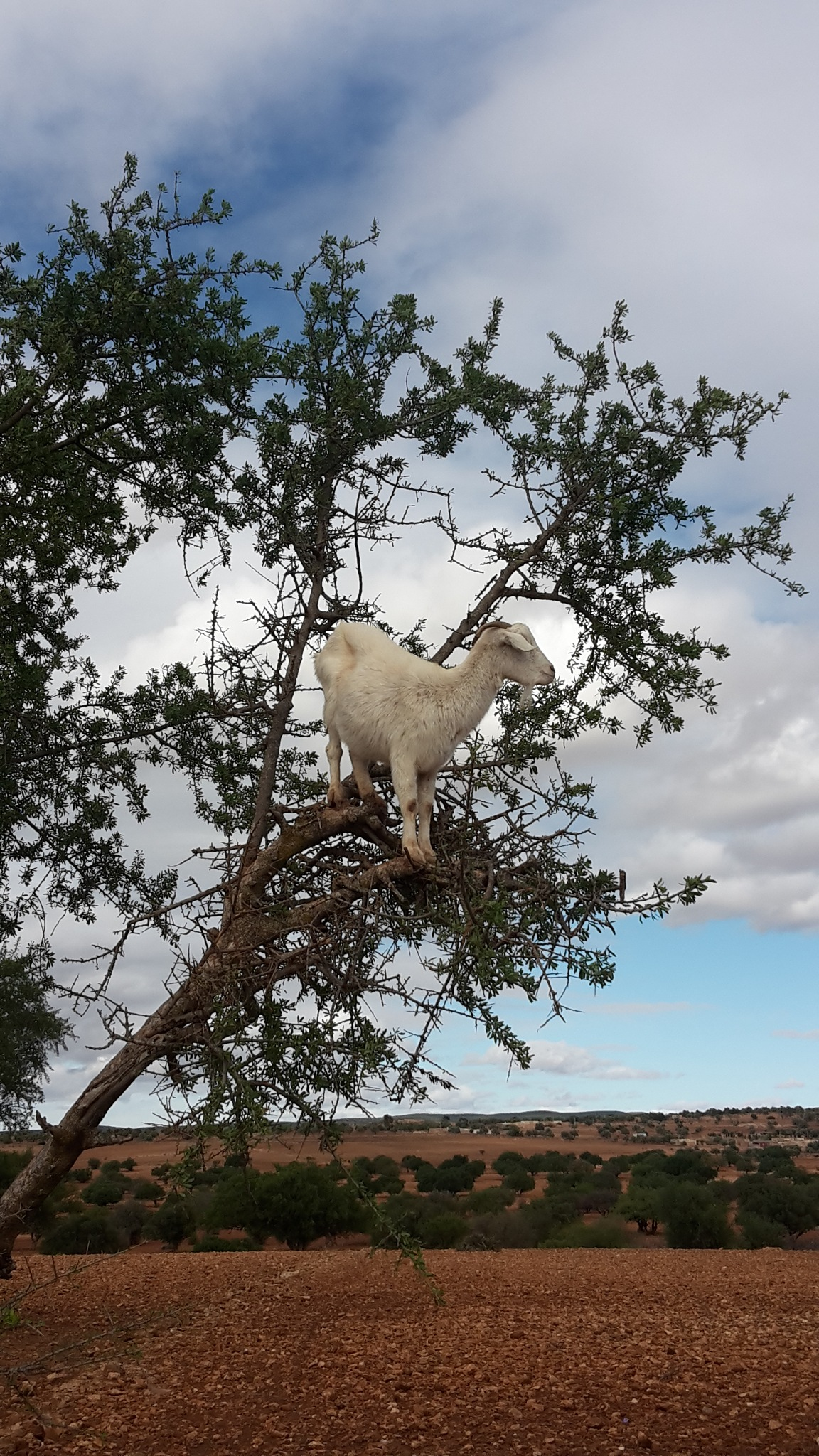 Goat on a tree by husky.blue.river