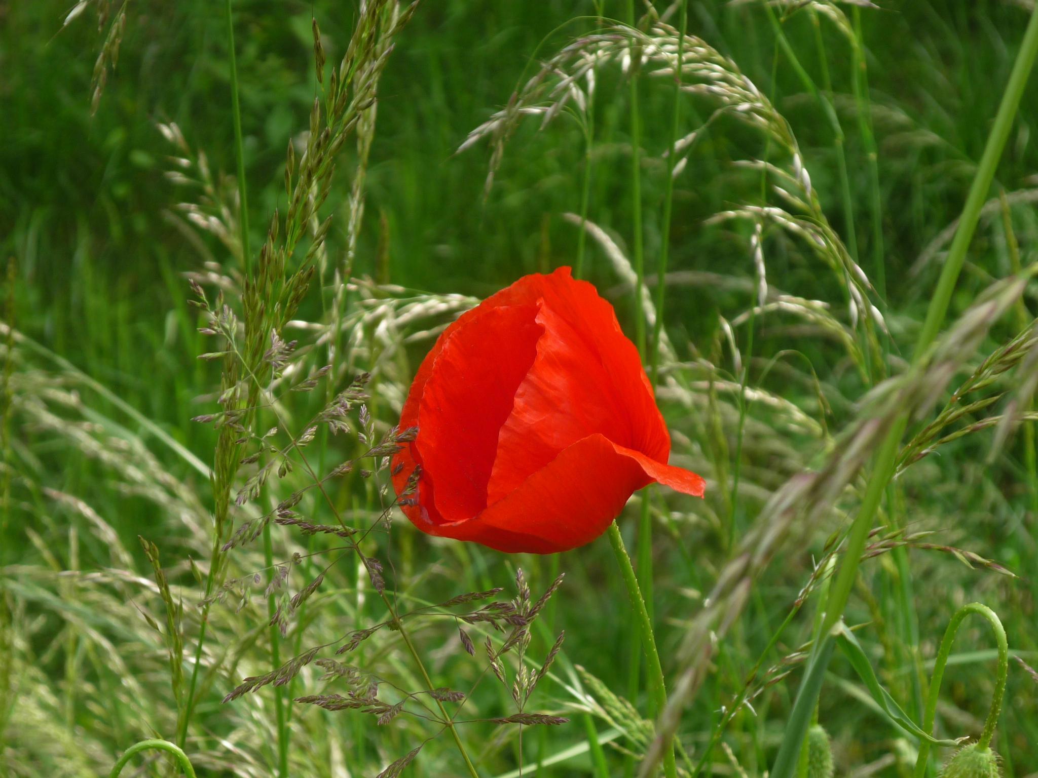 Poppy Red One by husky.blue.river