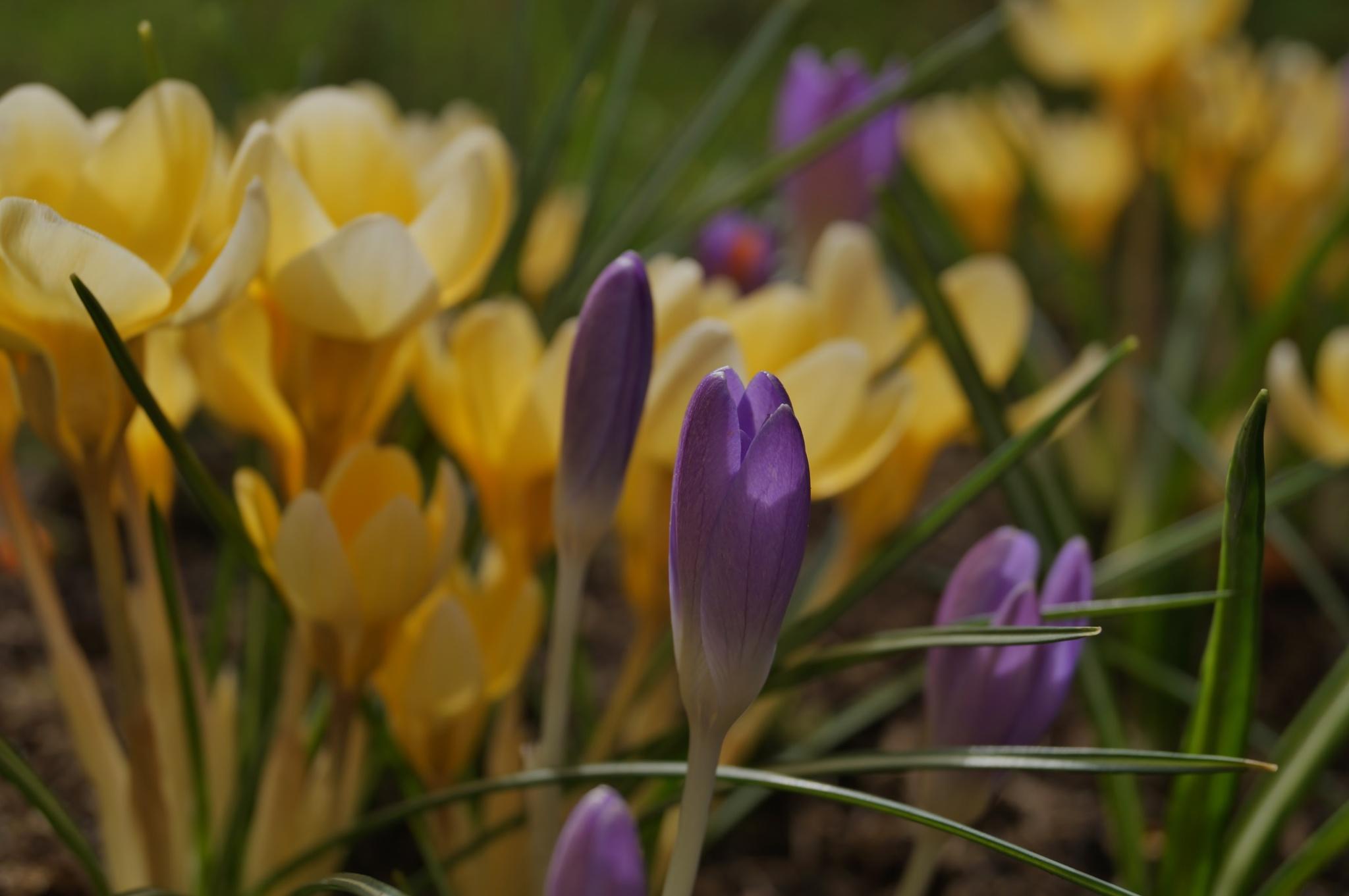 Photo in Nature #krokus #wiosna