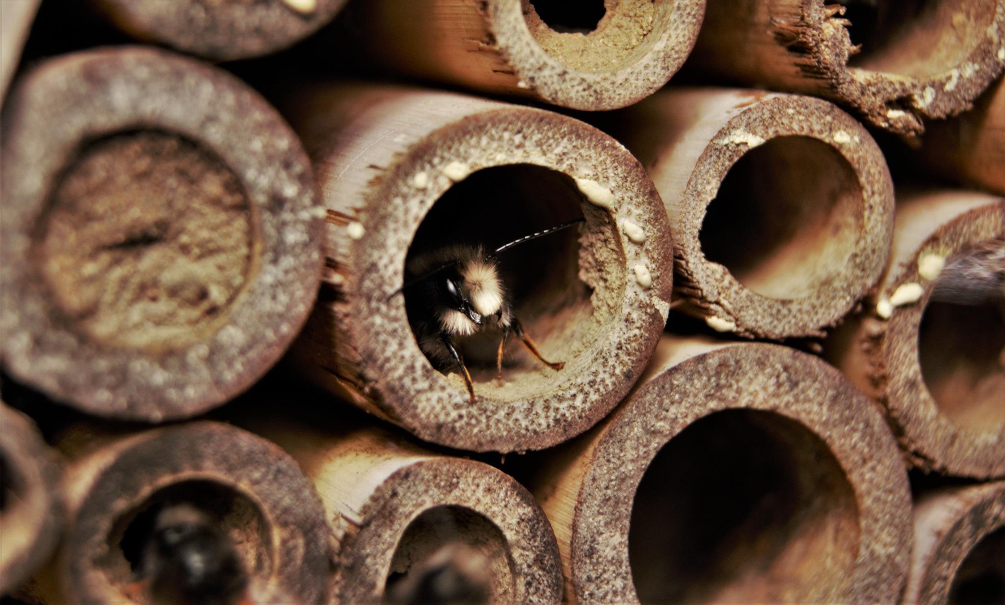 Male european orchard bee macro by Natura vid
