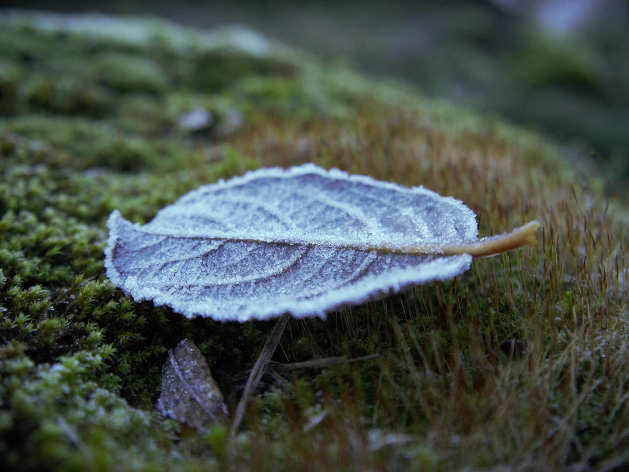 Frozen Leaf by Natura vid