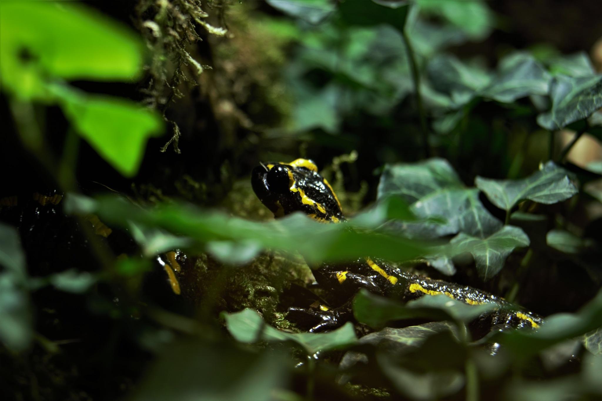 Fire Salamander by Natura vid