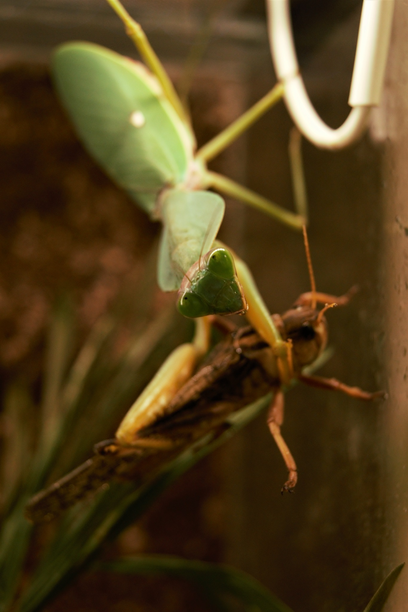 Mantis and its prey by Marco Kerp