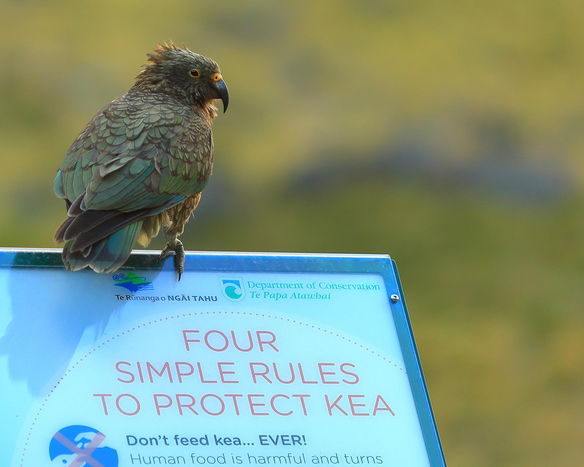 Kea Bird Rules by Kyle Bunting