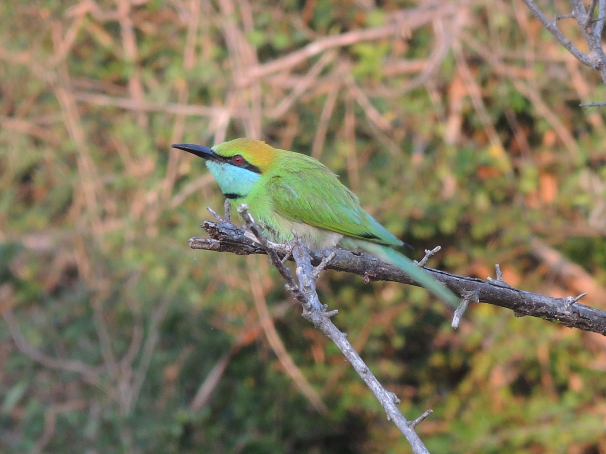 Bee-eater by blauwerat