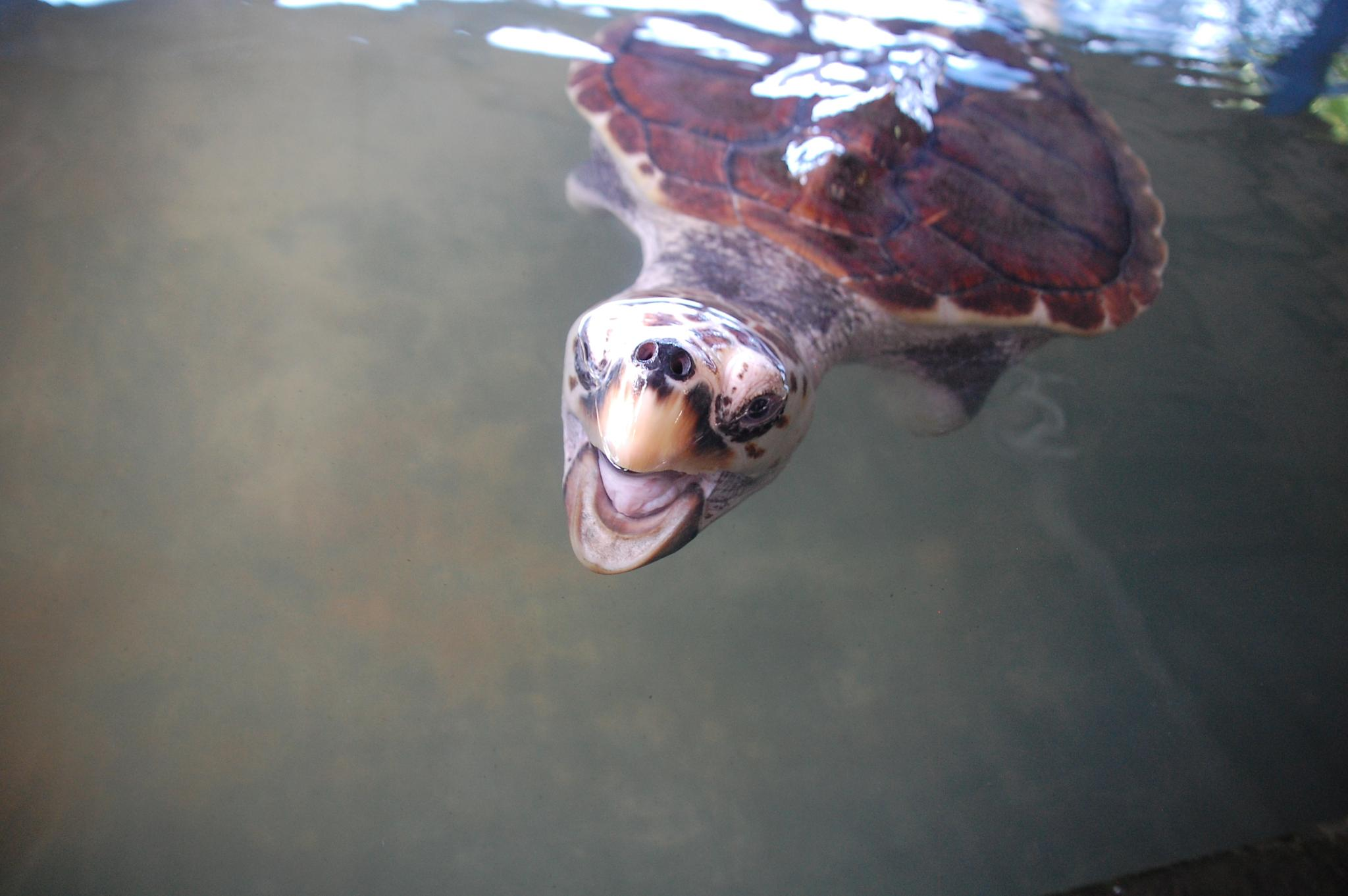 Grumpy turtle by blauwerat