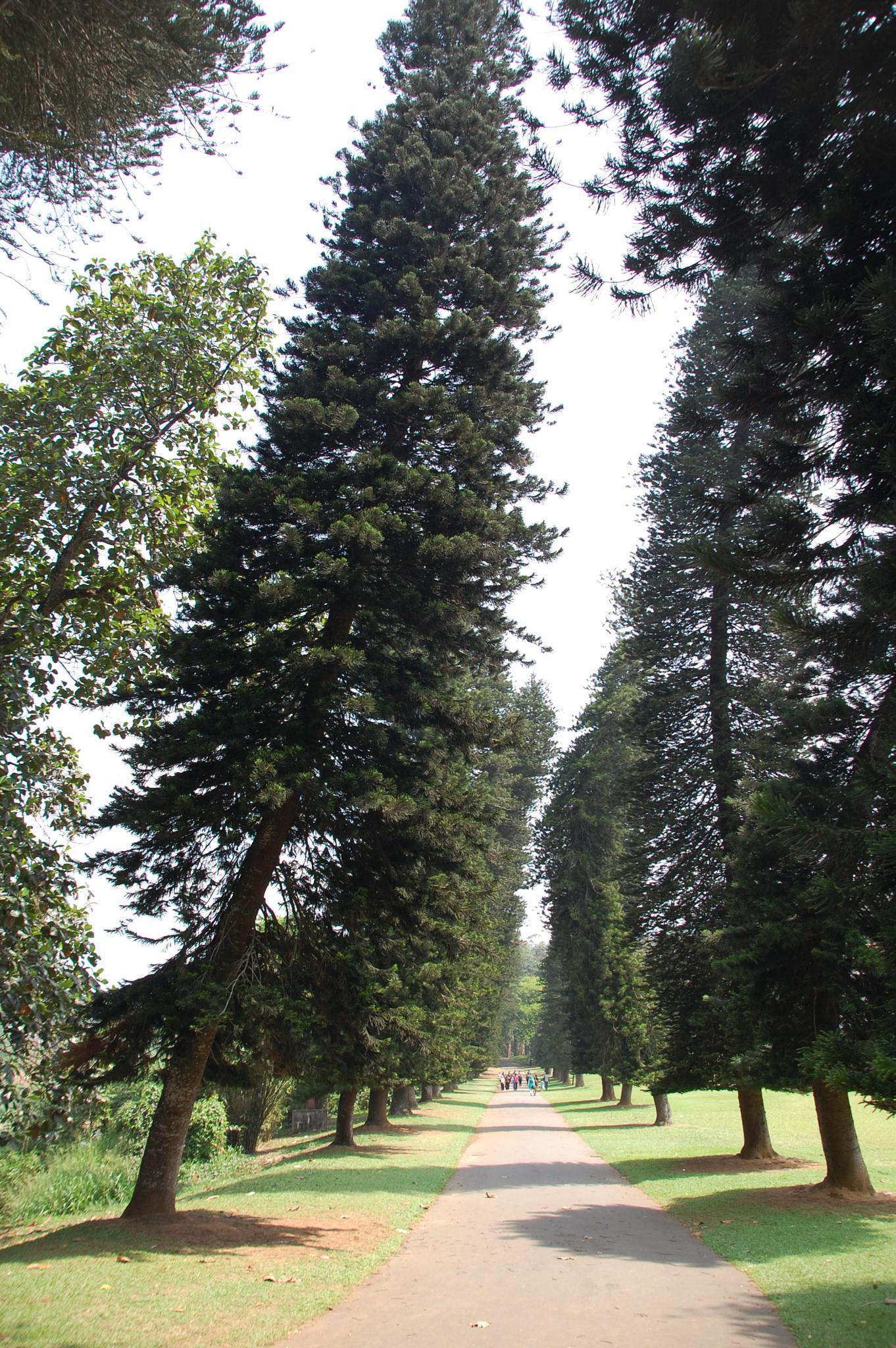 Big trees by blauwerat