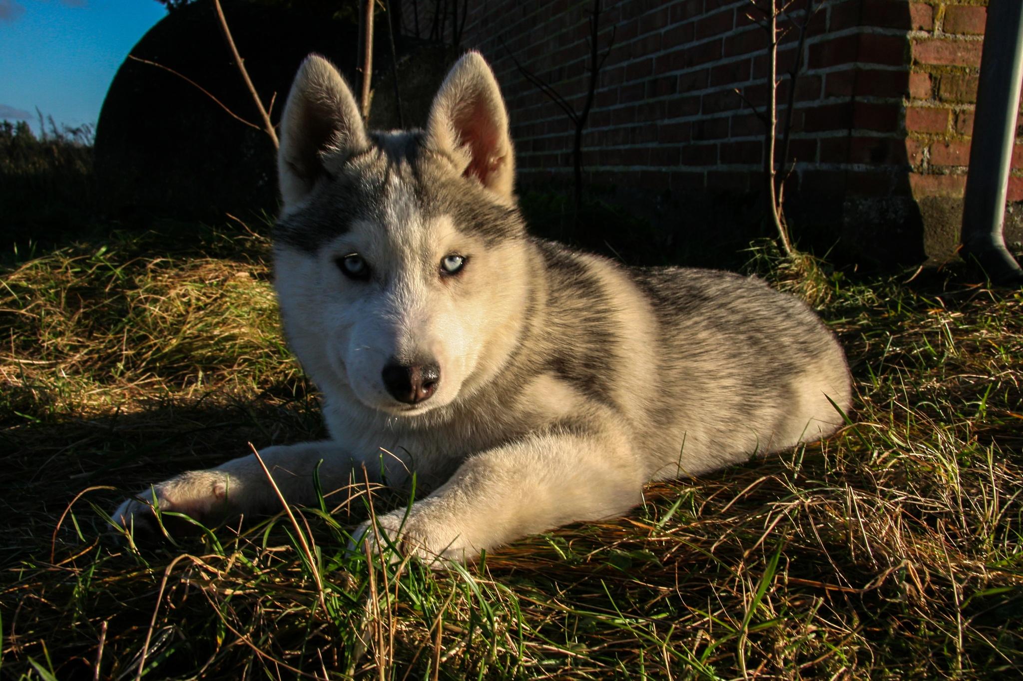 husky pup. by Hafsteinn Kröyer Eiðsson