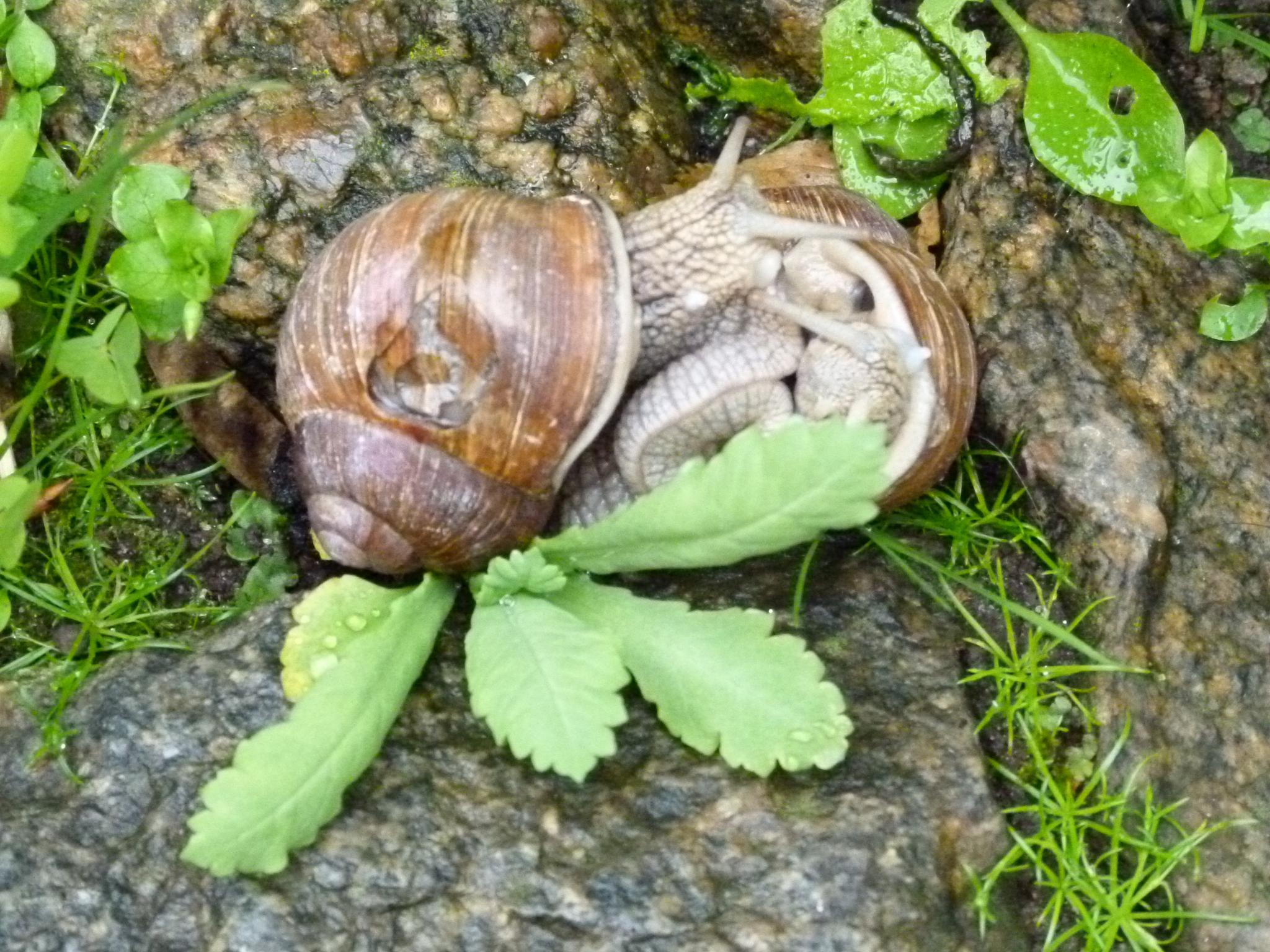 Snail Love  <3 by peterliendeborg