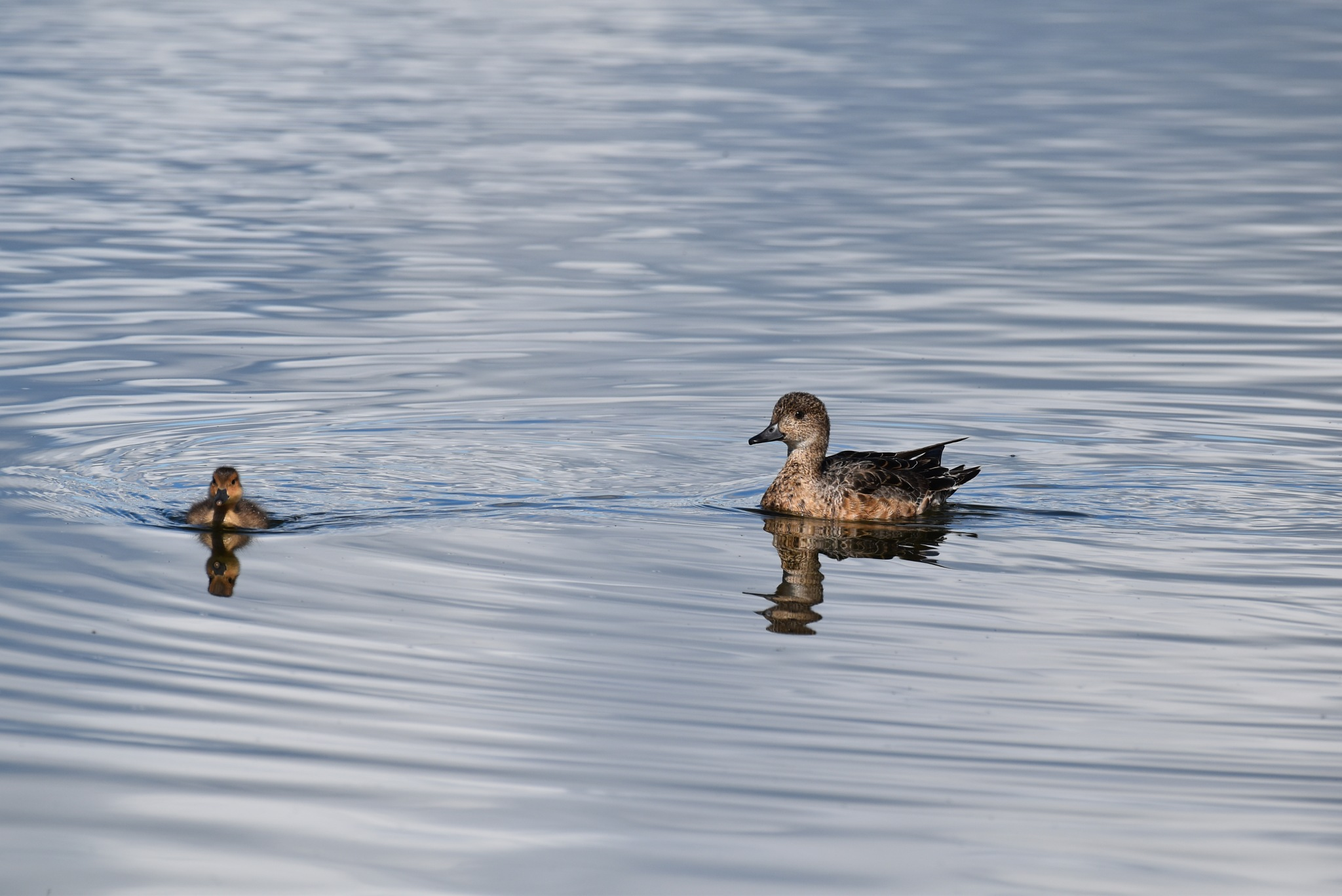 Wigeon by Gergely Talaber