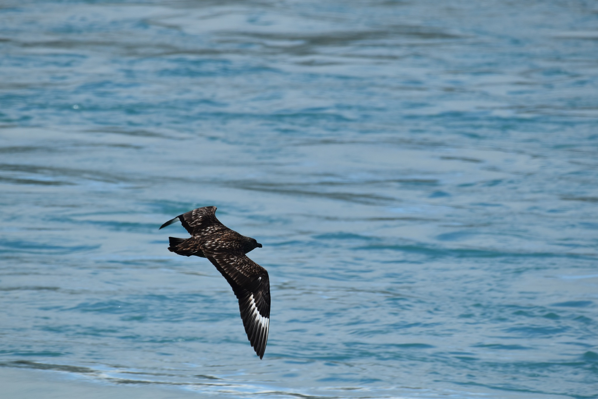 Great skua by Gergely Talaber