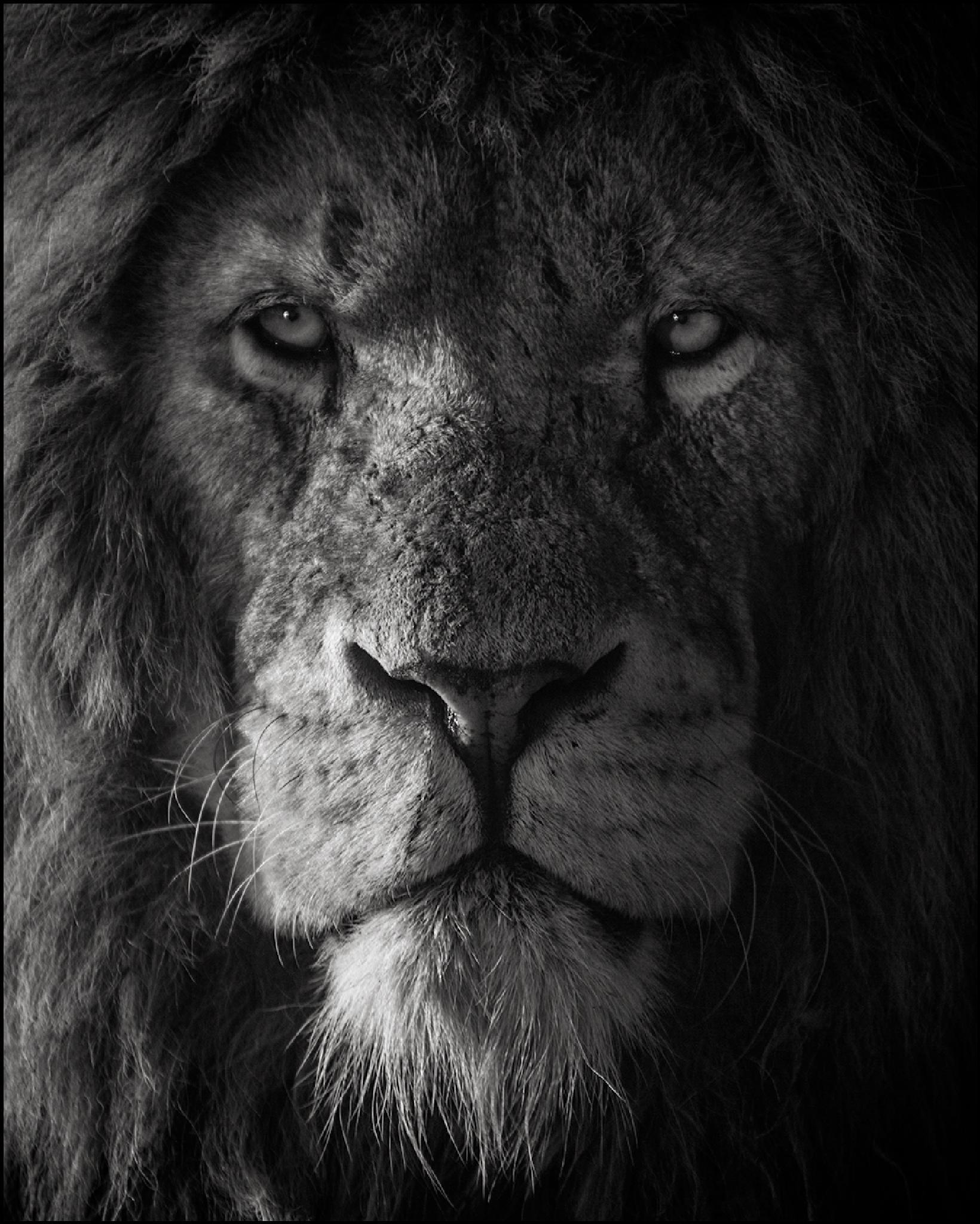 The Lion King by Marac Andrzej Kolodzinski