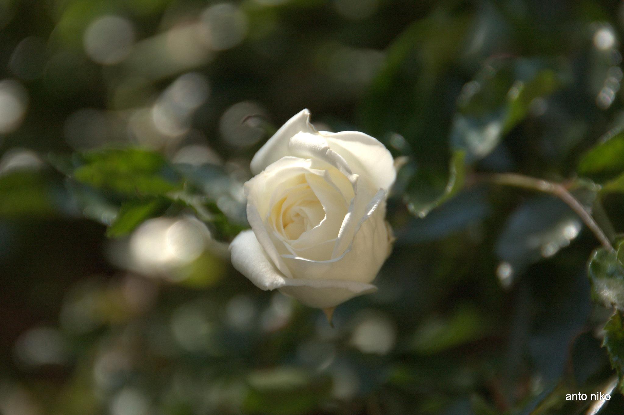 white rose!!! by peskandritsa