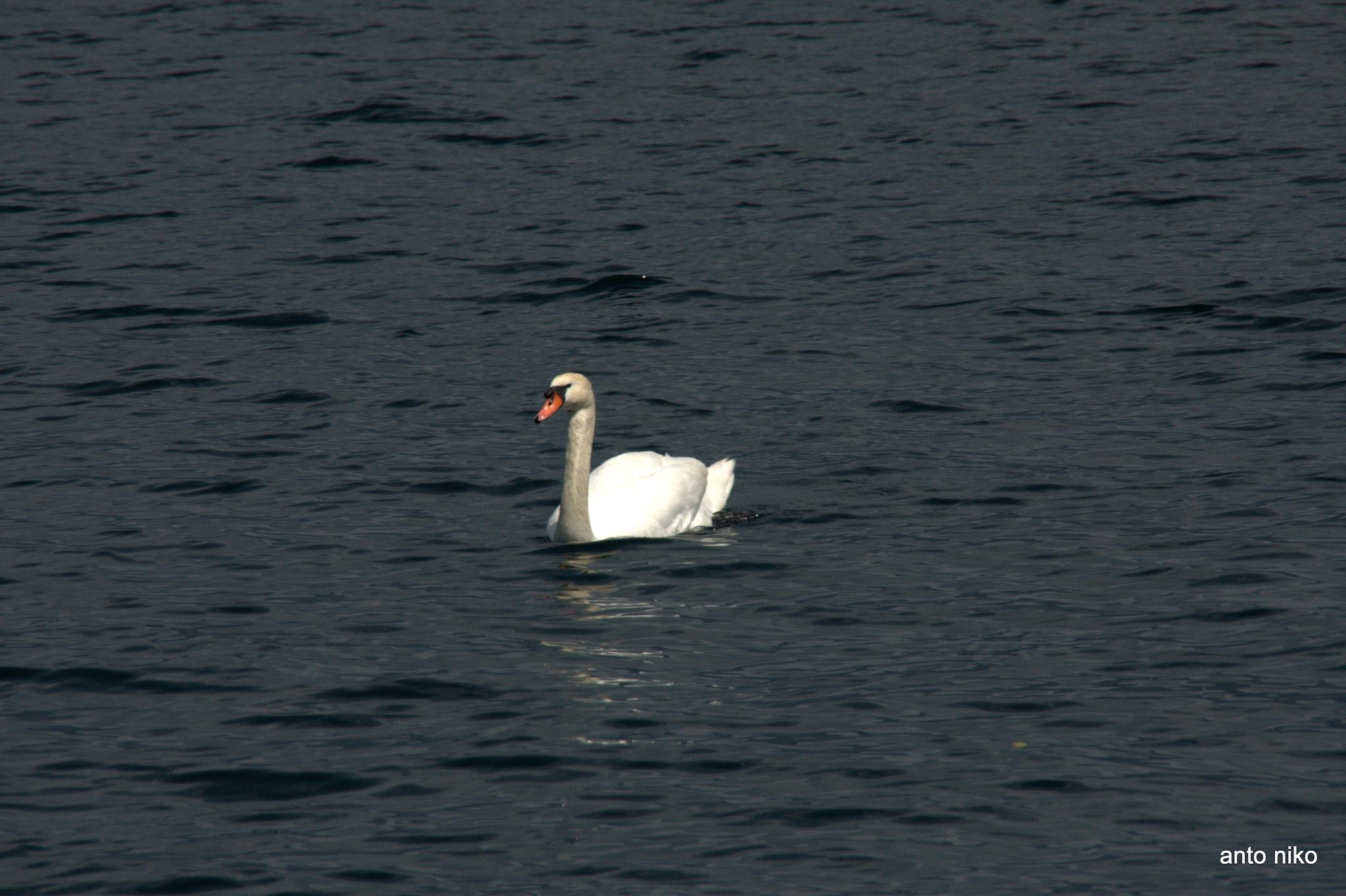 swan by peskandritsa