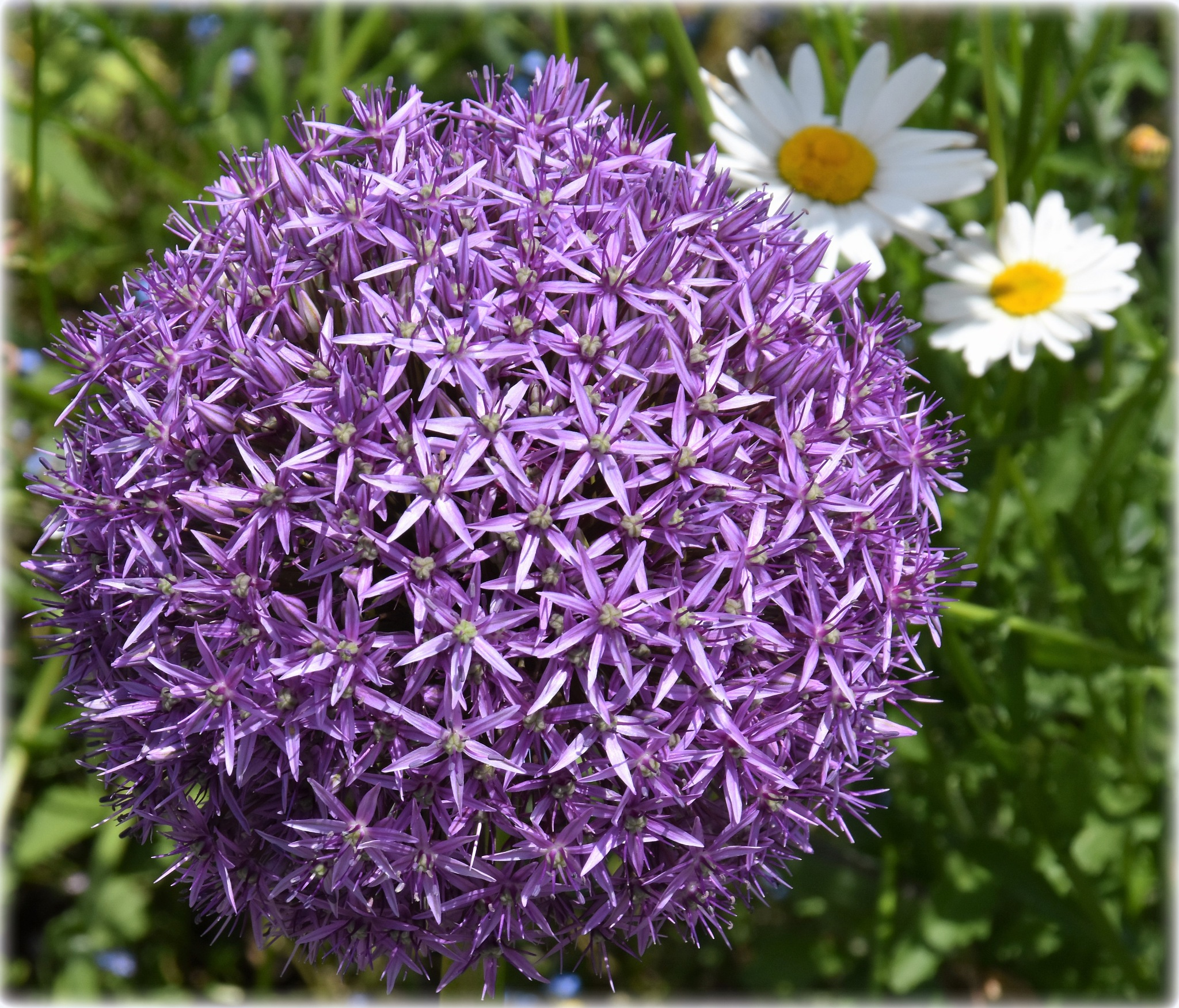 """""""ornamental onion-with margritts"""" by BauerStefan"""