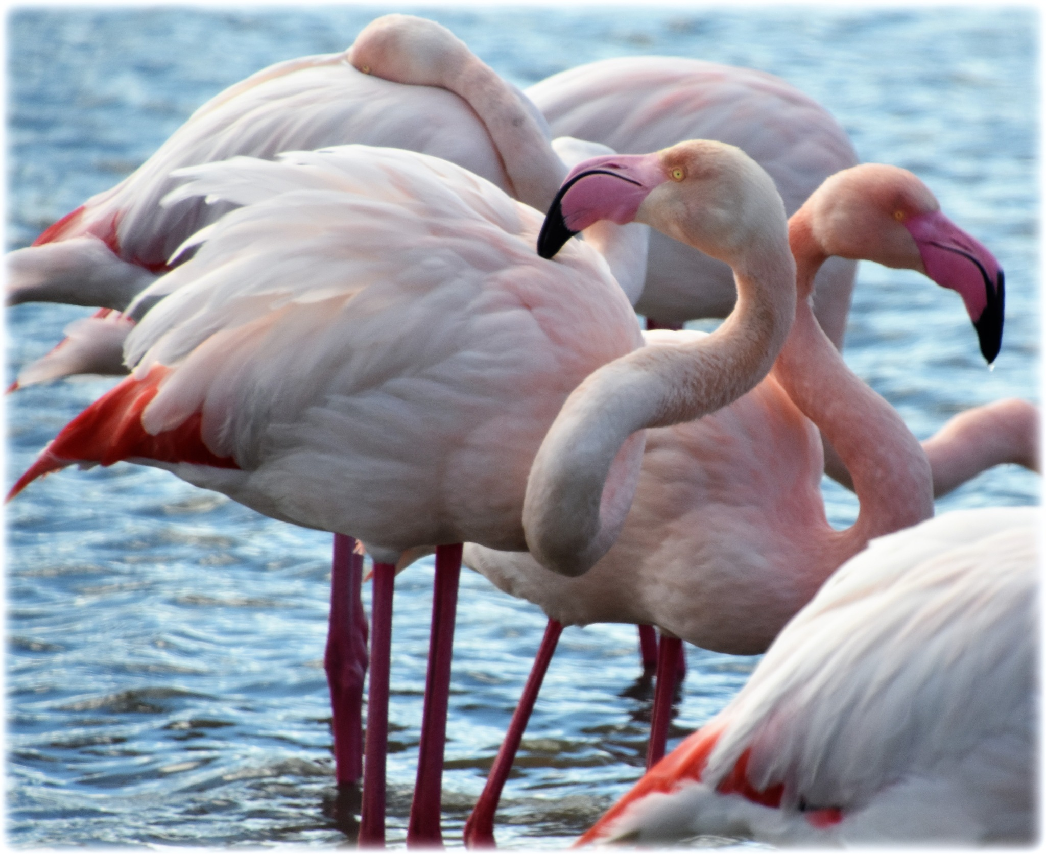 """flamingos"" by BauerStefan"