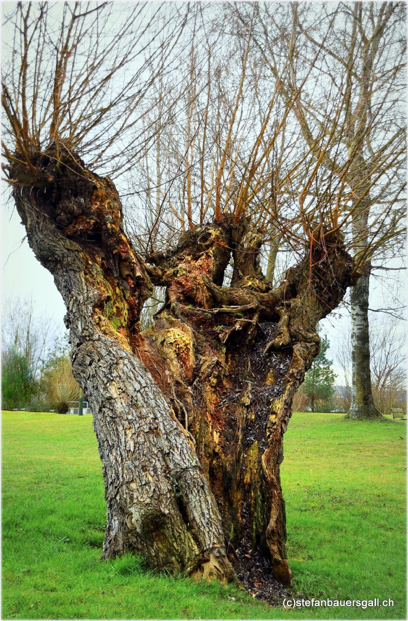 """""""willow tree"""" by BauerStefan"""