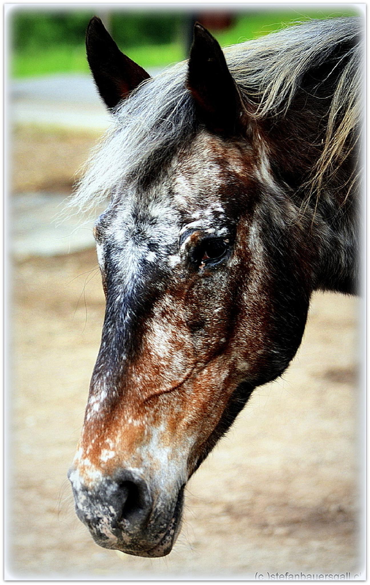 """horseportrait."" by BauerStefan"