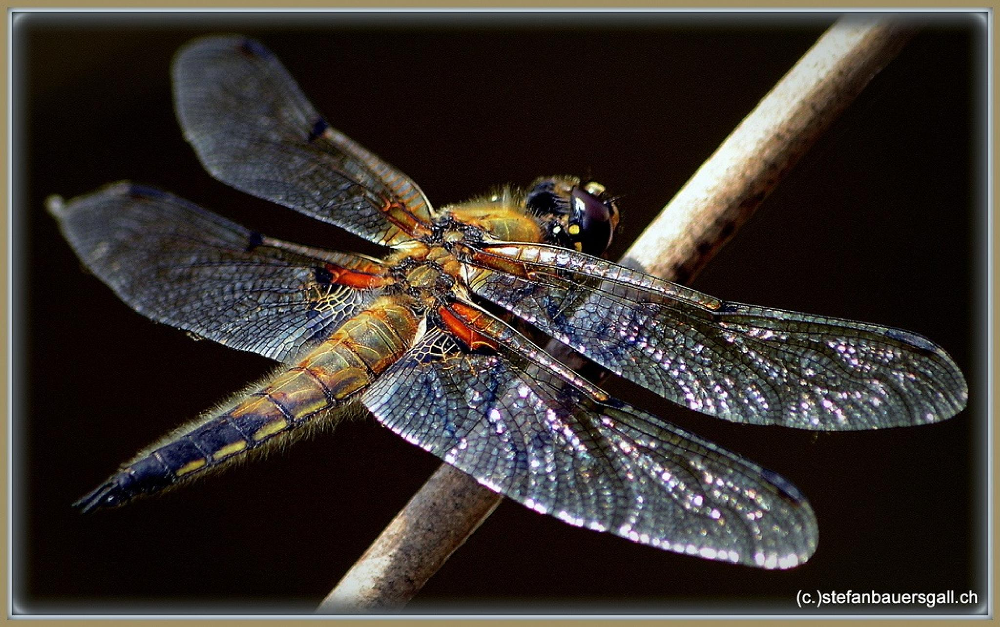 """""""dragonfly."""" by BauerStefan"""