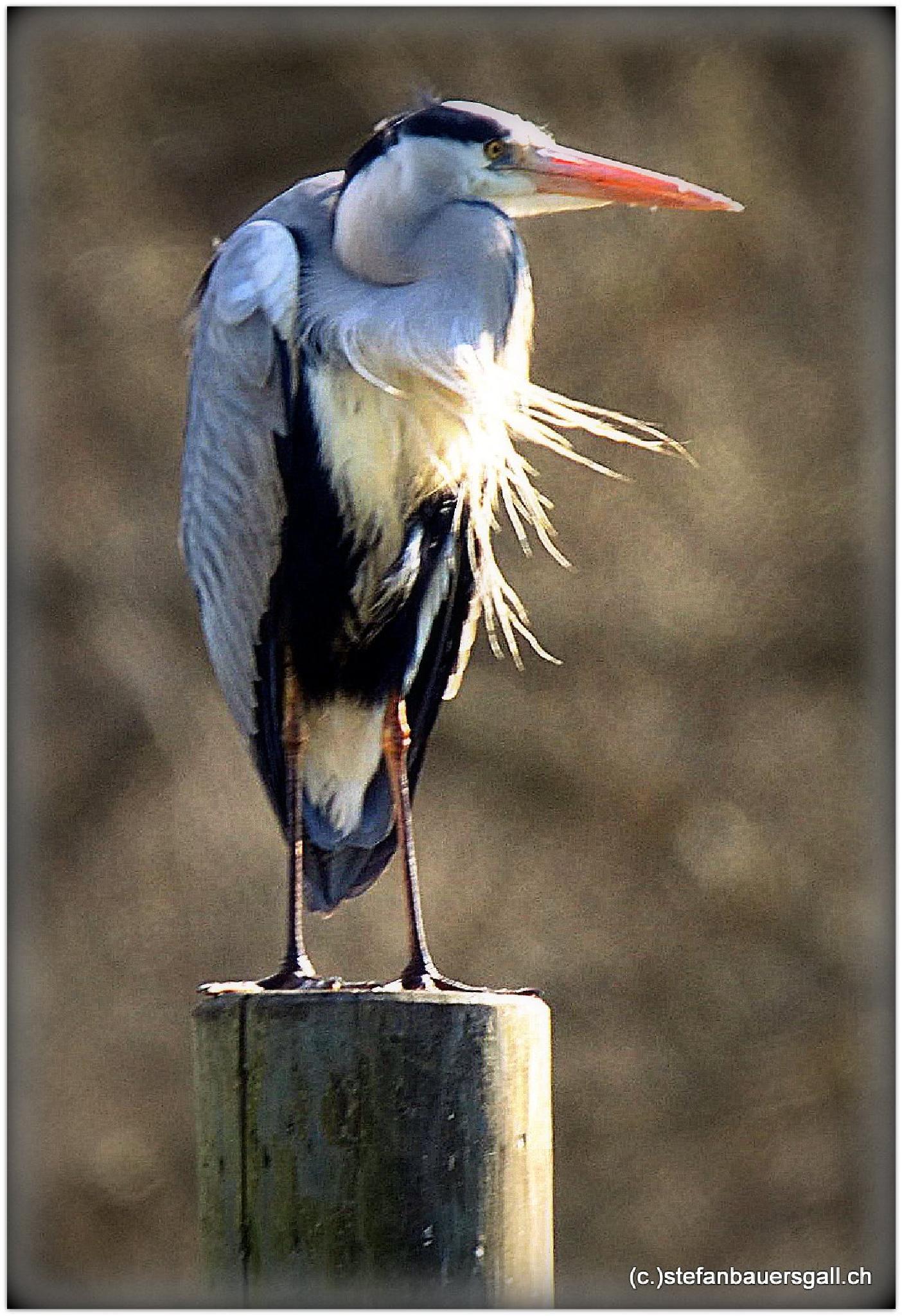 """gray heron."" by BauerStefan"