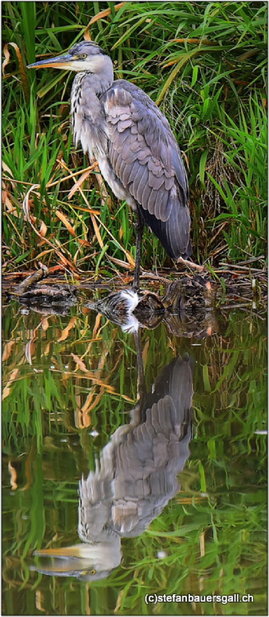 """heron gris.I"" by BauerStefan"